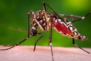 aedes aegypti mosquito